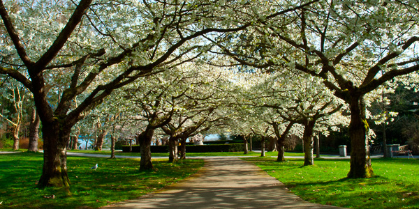 Blossoms in Spring Stanley Park, Vancouver