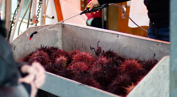 Steveston Village : Fresh Local Red Sea Urchin – Uni – Yes you can