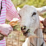 Isn't She Pretty, Surfing Goat Dairy Farm Maui Hawaii