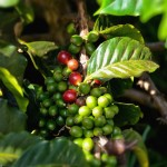 Coffee beans on the tree at O'o Farm in Upcountry Maui