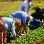 Picking your salas for luncheon at O'o Farm in Upcountry Maui