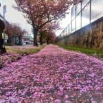 Falling Cherry Blossoms along the path on W. 7th Ave.