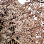 Cherry Blossoms Across Office Building in Vancouver