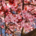 Detail of Cherry Blossoms in Steveston Village, Richmond