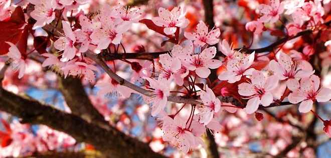 Detail of Cherry Blossoms
