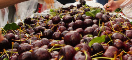 West End Farmers Market - Summer. Certified Organic Cherries from Golden West Farms, Summerland, B.C.