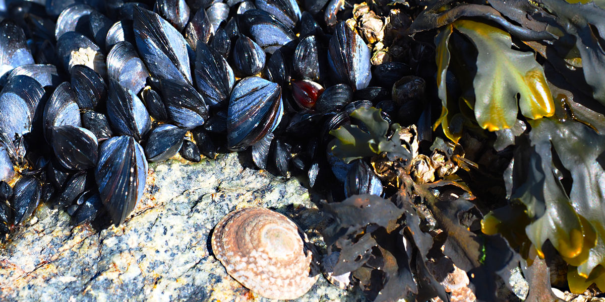 Wreck Beach is on the wild pacific coast of Vancouver. BC. Mussels.