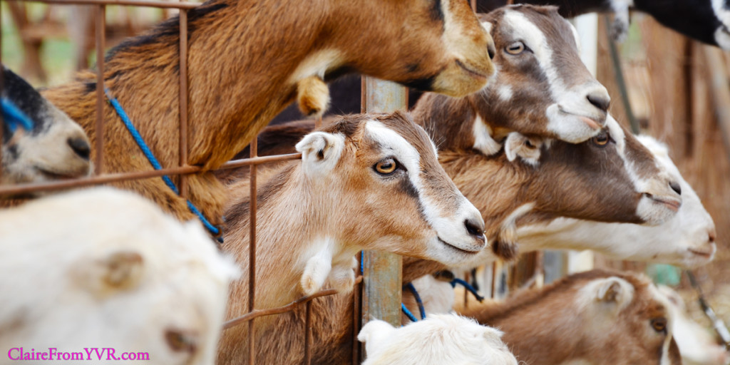 The goats from Maui's Surfing Goat Dairy.