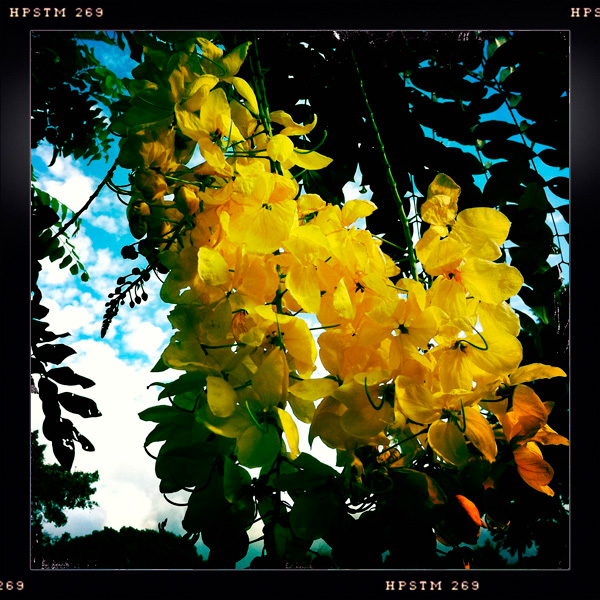 Golden Shower Tree, Cassia Fistula, Queen's Beach, Kapiolani Park, Waikiki, Oahu