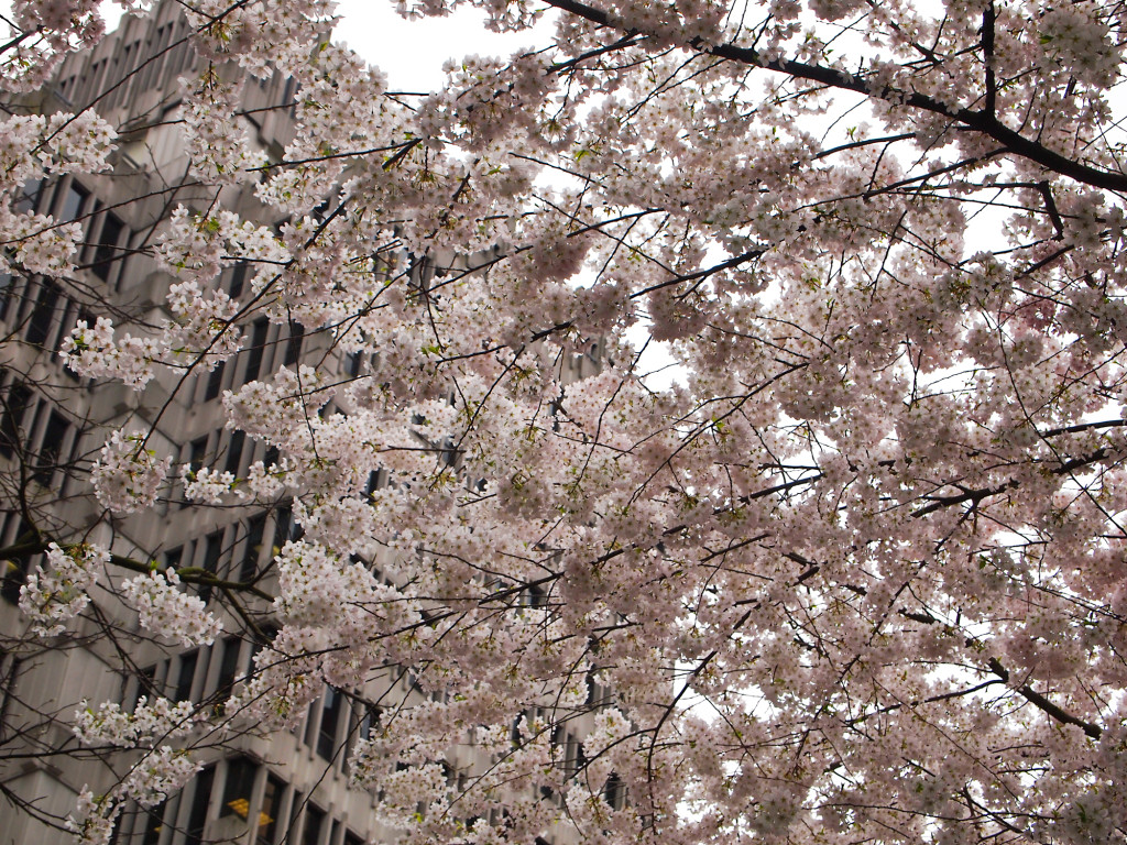 Vancouver Cherry Blossoms Brighten a Rainy Day