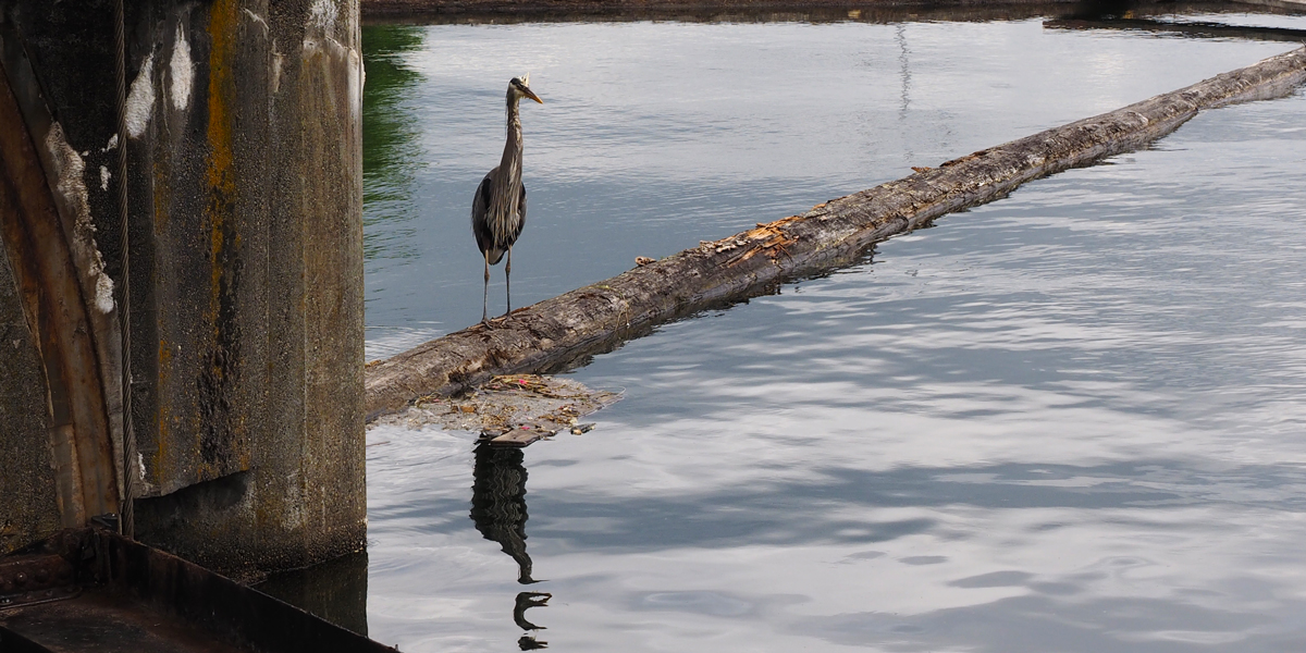Watching for Salmon too! Herons and otters also visit the Fish Ladder.